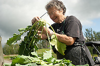 A farm hand trims kohlrabi at a small family farm near Palmer, Alaska.