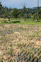 Bali, Indonesia.  Young Rice Plants in Field.