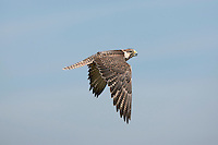 Saker Falcon (Falco cherrug) adult in flight.