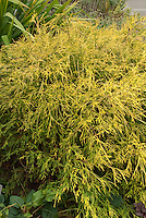 Chamaecyparis pisifera 'Filifera Aurea' aka Golden Mops