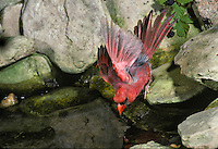 Northern male Cardinal leans down with wings out drinking from garden pool, Midwest USA