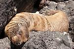 Santa Fe Island, Galapagos, Ecuador; a Galapagos Sea Lion (Zalophus wollebaeki) pup sleeping on the volcanic rocks near the water's edge of a lagoon on the eastern side of Santa Fe Island , Copyright © Matthew Meier, matthewmeierphoto.com All Rights Reserved