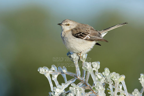 Northern Mockingbird (Mimus polyglottos), adult perched on ice covered branch, Dinero, Lake Corpus Christi, South Texas, USA
