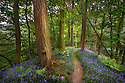 Bluebells {Endymion nonscriptus} flowering in woodland with path leading into distance, Peak District National Park, Derbyshire, UK. May. Seasons sequence 1 of 2.