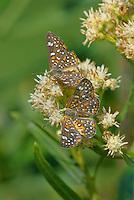 362860001 wild palmers metalmarks apodemia palmeri a common butterfly feeds on flower stalks along the edge of patagonia lake in patagonia lake state park arizona