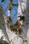Tent caterpillars climbing on and eating bark of a Birch tree at library in Marysville, Washington  USA