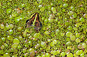 Marsh Frog {Pelophylax ridibundus} surrounded by duckweed {Lemnoideae} in pond. Danube Delta, Romania. May.