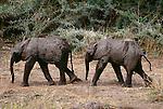 African elephant calves, Chobe National Park, Botswana
