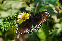 The Common Mime (Papilio clytia, form clytia) is a Black-bodied Swallowtail that displays Batesian mimicry. (Cambodia)