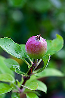 Macintosh apple on a tree
