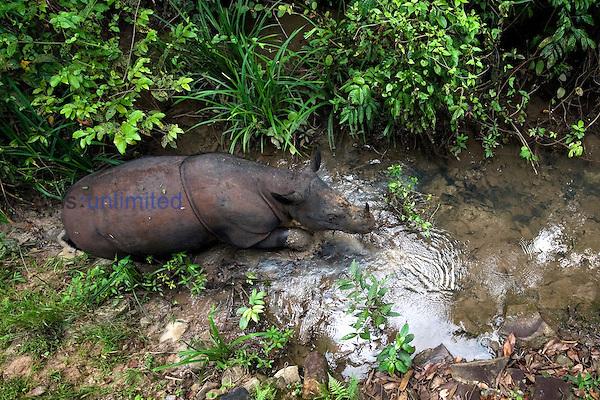 Sumatran rhino (Dicerorhinus sumatrensis) - walking through stream.Way Kambas National Park, Lampung Province, southern Sumatra, Indonesia.Critically endangered / threatened species - fewer than 200 left.Captive - Sumatran Rhino Sanctuary within the park