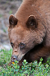 brown black bear eating flowers sping