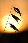 Backlight Grasses against setting sun, silhouette, soft golden light, colours.France....