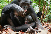 Bonobo female and her male baby aged 10 months sitting on the forest floor (Pan paniscus), Lola Ya Bonobo Sanctuary, Democratic Republic of Congo.