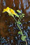 Common Monkey Flower (Mimulus guttatus) lying in West Fork of Oak Creek, Arizona, USA