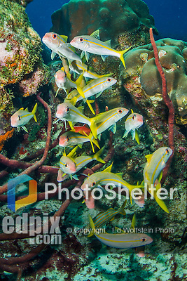 29 January 2016:  A group of Yellowfin Goatfish (Mulloidichthys vanicolensis) inhabit the reef at Captain Don's Habitat in Bonaire. Bonaire is known for its pioneering role in the preservation of the marine environment. A part of the Netherland Caribbean Islands, Bonaire is located off the coast of Venezuela and offers excellent scuba diving, snorkeling and windsurfing.  Mandatory Credit: Ed Wolfstein Photo *** RAW (NEF) Image File Available ***