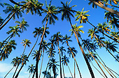 Coconut Palms, Hawaii, USA<br />