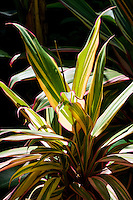 A sunlit ti leaf plant with green, yellow and pink colored leaves at the Hawai'i Tropical Botanical Garden, in Onomea (4 miles north of Hilo), Big Island of Hawaiʻi.