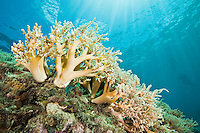 Soft coral with sunbeams, Palau Micronesia. (Photo by Matt Considine - Images of Asia Collection)