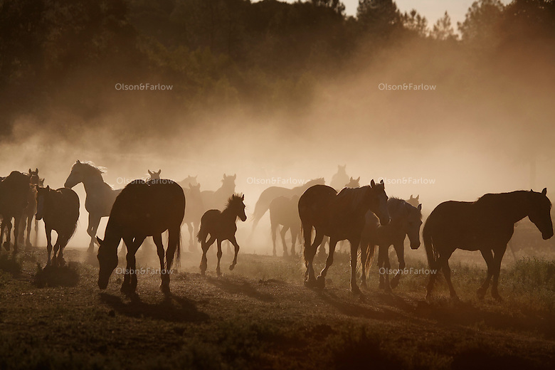 Dust rises in summer dry heat as a herd of mustangs moves to water. Horses are social animals and there is a hierarchy among them as to who drinks first.<br />