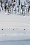 Druid wolf pack travel through a valley in Yellowstone National Park, Wyoming.