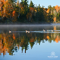 """Fall Paddlers"" ~ This group of common mergansers agreed that it was a fine Fall morning for a paddle.  North Kawishiwi River in Boundary Waters Canoe Area Wilderness (BWCAW)."