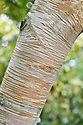Trunk and bark of Betula ermanii 'Blush', a form of Erman's birch with a coppery-pink bark when established.