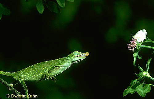 CH03-082z  African Chameleon - preparing to shoot out tongue to catch prey - Chameleo senegalensis