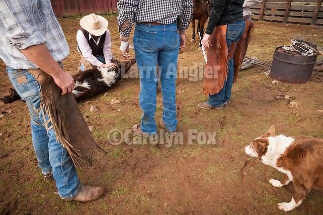Calf marking at the Wooster Ranch, Red Barn, Calaveras County, Calif.