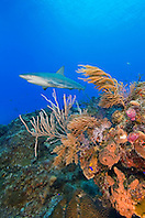 Caribbean Reef Shark, Carcharhinus perezi, swimming over coral reef, West End, Grand Bahama, Atlantic Ocean