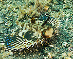"""A flying gurnard spreads its """"wings"""" in warning, trying to appear too large for a predator to attack.  Seen on the sandy bottom of the Lembeh Strait."""