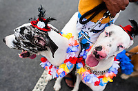 Disguised Great Dane dogs take part in the Blocao pet carnival show at Copacabana beach in Rio de Janeiro, Brazil, 12 February 2012.