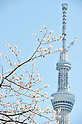 April 7, 2012, Tokyo, Japan - The Tokyo Sky Tree is seen through cherry blossoms in full bloom at Sumida Park in Taito ward, Tokyo on Saturday, April 7, 2012. (Photo by AFLO) [1160] -ty-