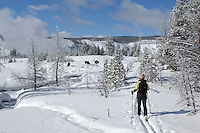 Cross Country skier, snow, Old Faithful area, Yellowstone National Park, Winter, Wyoming, United States of America.Bison (Bison bison) and Cross Country skier, snow, Old Faithful area, Yellowstone National Park, Winter, Wyoming, United States of America.