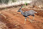 Africa, Kenya, Meru. Lesser Kudu of Meru National Park.