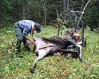 Elk (moose) hunting in Norway. Elgjakt i Trøndelag.