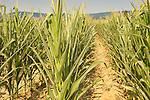 Crops: Field
