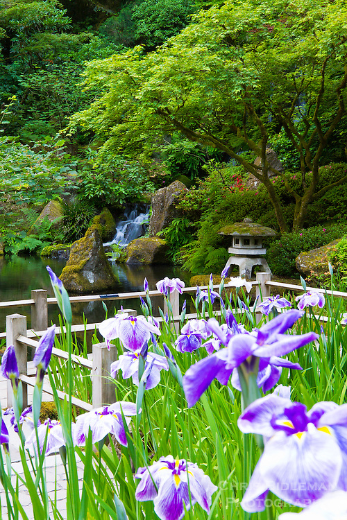 Japanese Iris (Iris ensata) are seen in the foreground by a zig-zag bridge with a pond and Heavenly Falls in the background along with a stone pagoda lantern in the Portland Japanese Garden.