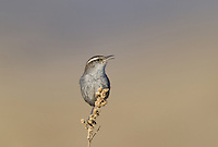 598030011 a wild bewick's wren thryomanes bewickii  perched on a twig in kern county california united states