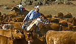 La Grange, California May 08, 2008.Erickson Cattle Company move cattle along Merced Falls Road to stone corral...Photo by Al GOLUB/Golub Photography.