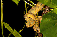Bush Viper (Atheris squamigera). Captive