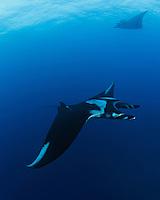 QT2543-Dr. Manta Rays (Manta birostris). Baja, Mexico, Pacific Ocean.<br /> Photo Copyright &copy; Brandon Cole. All rights reserved worldwide.  www.brandoncole.com
