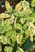 Salvia officinalis variegated culinary herb 'Icterina'