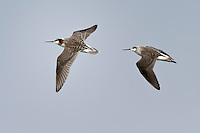 Pair of wilson's Phalarope in flight