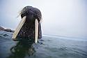 An Atlantic walrus shows off his impressive tusks off the coast of Lagoya Island, Nordaustlandet, Svalbard.