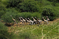A herd of giraffe, runs in the Bandingalio National Park part of the Boma-Jonglei Landscape, home to some of the most spectacular and important wildlife populations of ungulates in the planet, including perhaps the largest wildlife migration in the world. An annual migration of antelope colled the white-eared kob may rival the famous wildebeest migration of the Serengeti. (PHOTO: MIGUEL JUAREZ LUGO)