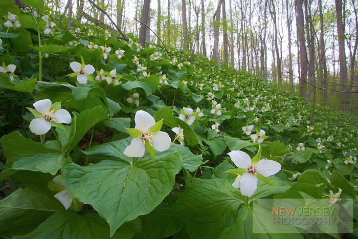 Large-flowered Trillium, wildflowers in bloom, Shenk's Ferry Wildflower Preserve, Pennsylvania