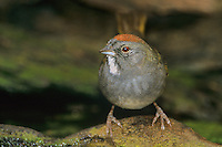 582210007 a wild green-tailed towhee pipilo chlorurus perches beside a small pond before drinking in the rio grande valley of south texas in the united states
