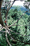 Bird's eye view 50 meters up a kenari nut tree, the first tree I followed poachers into. I've never come all the way down