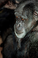 Chimpanzee (Pan troglodytes). Captivity.